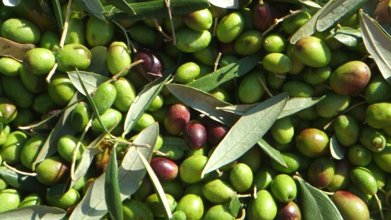Olio extravergine di oliva: La Coratina