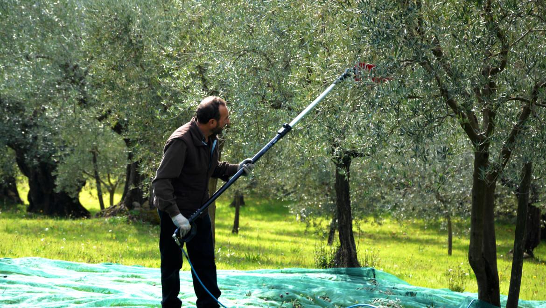 La produzione dell'olio di oliva: aziende a conduzione famigliare, alta qualità garantita